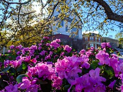 azalea season (ekelly80) Tags: massachusetts marlborough april2019 spring newengland town light goldenhour sunset sun flowers azaleas purple trees