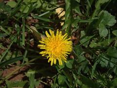 dandylionbloom (michaelmaguire4) Tags: flower
