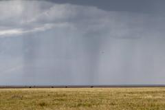 The Rain Falls Mainly On the Plain (Jill Clardy) Tags: 201902239l8a9814 serengeti national park tanzania rain virga clouds savanna plain plains storm africa safari golden