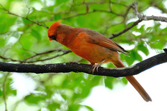 Northern Cardinal 02 05.11.19 (Gene Ellison) Tags: bird northerncardinal male red feathers eyes beak tree branch leaves fujifilm velvia