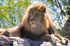King Of All (NarnaMarie) Tags: lion seneca park zoo africa wildlife big cats