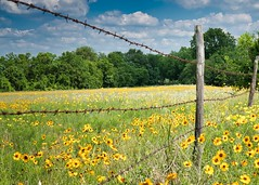 Texas Wildflowers (sbmeaper1) Tags: sony a7r2 texas wild flowers fence barbed wire