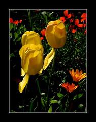 Tulipany. (andrzejskałuba) Tags: poland polska pieszyce dolnyśląsk silesia sudety europe plant plants roślina rośliny natura nature natural natureshot natureworld nikoncoolpixb500 beautiful buds macro beauty color cień czerwony red pomarańczowy ogród orange zieleń green garden leaves liście poppy poppies tulip tulipan tulipany tulips yellow żółty wiosna shadow spring 100v10f 1000v40f 1500v60f