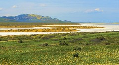 Superbloom and drying soda lake, at the Carrizo Plain. (Ruby 2417) Tags: dry lake carrizo plain national monument soda spring bloom superbloom wildflower wildflowers flowers white yellow mountain valley
