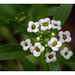 "Lobularia maritima :""Aucun chemin de fleurs ne conduit à la gloire."""