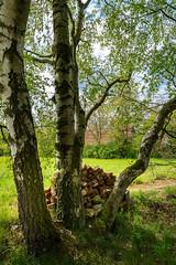Dorfidylle  (1) (berndtolksdorf1) Tags: deutschland thüringen bäume birken natur ziegelsteine wiese dorf outdoor
