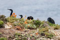 Point Lobos, May 2019 #3 (satoshikom) Tags: canoneos6dmarkii canonef100400mmf4556lisiiusm pointlobosstatenaturalreserve californiastateparks californiacoast weekend beach hiking bird birdisland