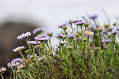 Point Lobos, May 2019 #6 (satoshikom) Tags: canoneos6dmarkii canonef100400mmf4556lisiiusm pointlobosstatenaturalreserve californiastateparks californiacoast weekend beach hiking wildflower