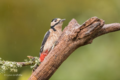 Great Spotted Woodpecker D85_7177.jpg (Mobile Lynn) Tags: nature greatspottedwoodpecker birds woodpecker bird dendrocoposmajor fauna forest picidae piciformes tree wildlife coth specanimal coth5 ngc npc