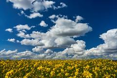 koolzaad (Jos Mecklenfeld) Tags: rapeseed raps koolzaad clouds wolken landscape landschaft landschap laude westerwolde groningen netherlands niederlande nederland spring frühling lente sonya6000 sonyilce6000 sonyepz1650mm selp1650