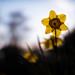 Daffodil at dusk