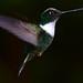 Hummingbirds 6