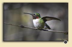 Ruby-throated Hummingbird / Colibri à gorge rubis / Archilocus colubris (FRITSCHI PHOTOGRAPHY) Tags: rubythroatedhummingbird colibriàgorgerubis archilocuscolubris cimetièremontroyal montréal montreal