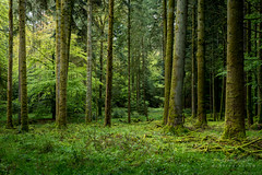 A9903134_s (AndiP66) Tags: wald forest woods bäume trees natur nature morgen morning spring grün green glashütten schweiz switzerland sony alpha sonyalpha 99markii 99ii 99m2 a99ii ilca99m2 slta99ii sigma sigma24105mmf4dghsmart sigma24105mm 24105mm art amount andreaspeters frühling