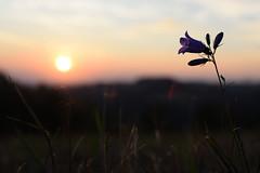 Bell (Honza z Krkonoš) Tags: flower blossom purple blue sunset meadow nature květina květ fialová modrá západ slunce louka příroda