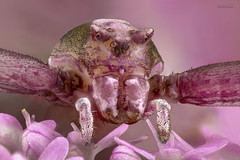 Araña cangrejo rosa ( Thomisus onustus ) (leoncio.hernandezrodriguez) Tags: arañacangrejorosathomisusonustus sevilla andalucía españa