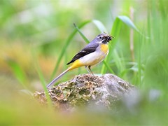 Grey Wagtail with food for young (doranstacey) Tags: nature wildlife birds grey wagtail lathkill dale peak district derbyshire dales reserve nikon d5300 tamron 150600mm countryside