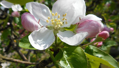 Spring 19 (Birute54) Tags: macro spring blossom apple tree