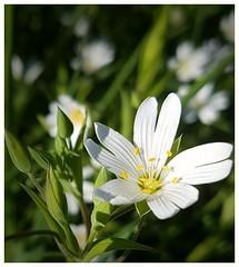 stitchwort (Gi8SKN) Tags: stitchwort ireland antrim carrickfergus gi8skn cameraphone samsung galaxy s7 wildflower field meadow grass macro dof buds flower white