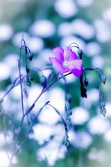 La douceur de la chair fait la tendresse du coeur. C.M. Waia Némia © (Fleur Duchat) Tags: fleur flower abstrait abstract purple