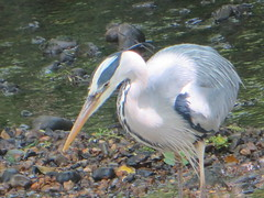 Heron Poised to Strike (river crane sanctuary) Tags: heron rivercranesanctuary bird waterbird