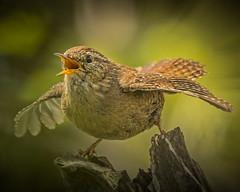 Wren  -908b (Steve Wood (peakscan)) Tags: wren bird springtime display troglodytestroglodytes singing