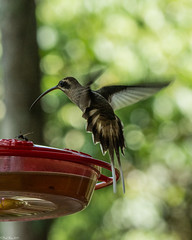 Mind the wasps (Fred Roe) Tags: nikond7100 nikonafsnikkor200500mm156eed nature naturephotography national wildlife wildlifephotography animals birds birding birdwatching birdwatcher birdinflight hummingbird hermit longbilledhermit phaethornislongirostris colors flickr outside panama