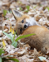 """""""What are thoooose?"""" (Jim Cumming) Tags: foxkit wildflowers redfox fox spring forest canada nature wildlife"""