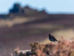 Ring Ouzel (Peter Quinn1) Tags: ringouzel derbyshire wheelstones tor rockoutcrop gritstone derwentedge moorland heather