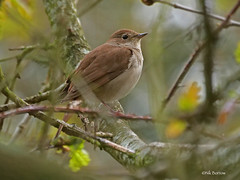 Common Nightingale Luscinia m. megarhynchos (nik.borrow) Tags: bird nightingale walberswick