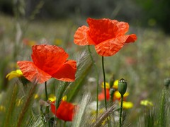 Poppy field (lauracastillo5) Tags: red poppy field green beautiful flowers bloom blooming nature natural outdoors spring yellow garden wildflower