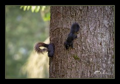 Mother is home. (the_coprolite) Tags: squirrel kits coquitlam bc britishcolumbia canada nikon d750 sigma 150600mm