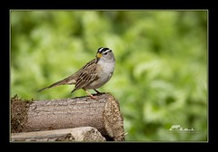 White-crowned sparrow (the_coprolite) Tags: coquitlam bc britishcolumbia canada nikon d750 sigma 150600mm