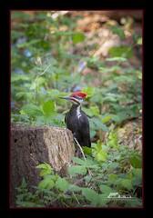 Pilated Woodpecker (the_coprolite) Tags: pilatedwoodpecker coquitlam bc britishcolumbia canada nikon d750 sigma 150600mm