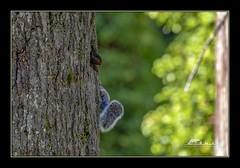 squirrel kits (the_coprolite) Tags: squirrel kits coquitlam bc britishcolumbia canada nikon d750 sigma 150600mm