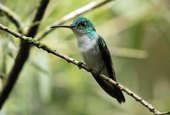 015A4650 Andean Emerald (suebmtl) Tags: bird birding ecuador andeanemerald amaziliafranciae mindo pichinchaprovince