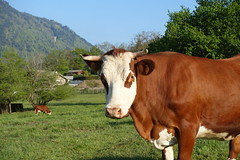 Abondance cattle @ Hike to Mont Orchez (*_*) Tags: spring printemps 2019 may morning matin europe france hautesavoie 74 hiking mountain montagne nature randonnee walk marche animal cow vache montorchez chablais abondance cattle bovin betail