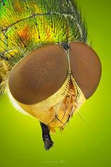Blow Fly (zgrkrmblr) Tags: macro macrophotography bug focusstack sonya7 newport433 manfrotto410 manfrotto357 berlebachminitripod sunwayfoto arthropoda insect animal böcek makro fieldstack photomacrography sonya7camerabody entomology entomoloji flora blowfly diptera calliphoridae 5xmitutoyomplanapona014infinitycorrectedlongwdobjective raynoxdcr150 nikonpb6bellows ikeajansjöledlamp
