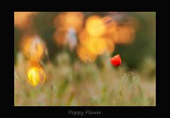 Poppy Flower (MC--80) Tags: poppy flower klatschmohn