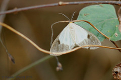 IMG_4997 Geodena discinota (maybe) (Raiwen) Tags: geodenadiscinota geodena ennominae geometridae lepidoptera moth moyenneguinée foutadjalon guinea westafrica africa lowlandrainforest forest