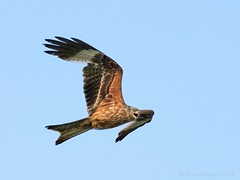 Cry (Huw Prosser) Tags: 300mm f4 mzuiko panasonic lumix dcg9 red kite bird animal