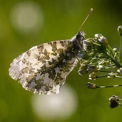Anthocharis cardamines (Ouwesok) Tags: sonyslta77 sigma28105mmoshsm anthochariscardamines oranjetipje vlinder insect harderbos