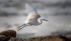 Snowy Egret Launching from Rock (Pragmatic1111) Tags: snowyegret bird nature wildlife oklahoma nikon d850 fly flight takeoff feather