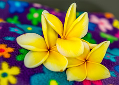 Color Power (risaclics) Tags: 60mmmacro frangipani may2019 nikond610d blossom colorful flora flowers multicolored yellow fullofcolour crazytuesday