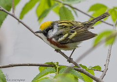 Chestnut-sided Warbler. (52) (Estrada77) Tags: chestnutsidedwarbler birds small warblers wildlife birding nikon nikond500200500mm nature outdoors migrants colorful spring2019 may2019 kanecounty illinois