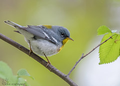 Northern Parula. (22) (Estrada77) Tags: northernparula birds warblers wildlife small nikon nikond500200500mm nature migrants birding colorful outdoors spring2019 may2019 kanecounty illinois