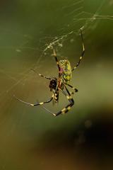 ジョロウグモ (Nephila clavata) (Hachimaki123) Tags: 国立科学博物館附属自然教育園 institutefornaturestudy 日本 japan 東京 tokyo animal arachnid arácnido araña spider クモ 動物 ジョロウグモ nephilaclavata