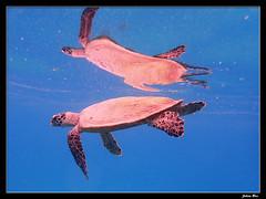 Baie des Citrons 12.05.2019 (CurLy98800) Tags: noumea nouvelle calédonie new caledonie diving plongée snorkeling underwater sous marine lagon baie des citrons plage pmt chelonia mydas tortue verte