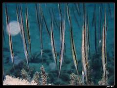 Baie des Citrons 12.05.2019 (CurLy98800) Tags: noumea nouvelle calédonie new caledonie diving plongée snorkeling underwater sous marine lagon baie des citrons plage pmt aeoliscus strigatus poissoncouteau