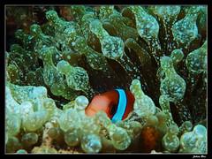 Baie des Citrons 12.05.2019 (CurLy98800) Tags: noumea nouvelle calédonie new caledonie diving plongée snorkeling underwater sous marine lagon baie des citrons plage pmt amphiprion barberi poisson clown